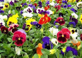 A partir del 15 de octubre se iniciarán los trabajos de plantación de 22.926 unidades de flor en diversas zonas del casco urbano de Calahorra