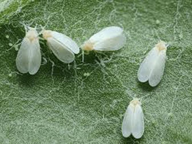 Jornada informativa sobre el control de la mosca blanca en Calahorra