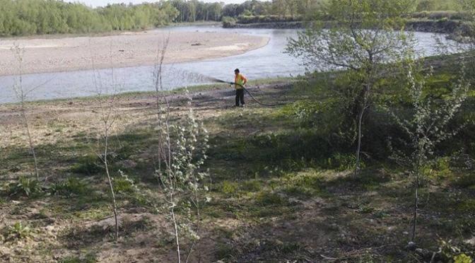 """La Junta de Gobierno Local aprueba el expediente para la venta de 507 unidades de chopo maderable en el paraje de """"Bergal"""""""