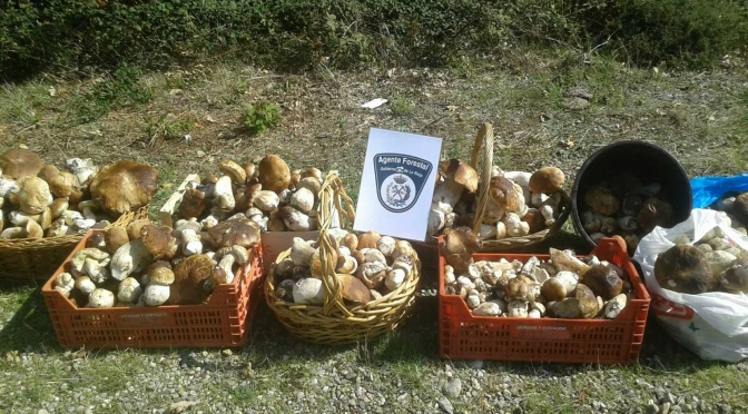 Decomisados más de cien kilos de hongos recogidos de forma ilegal en Moncalvillo