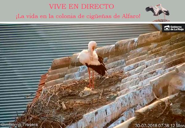 La vida de la colonia de cigüeñas de Alfaro