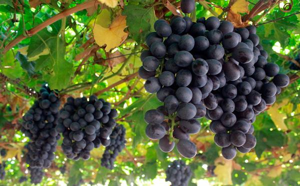 Línea de financiación de 112 millones de euros para facilitar la compra de uva a las bodegas de La Rioja